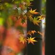 竹林のモミジ