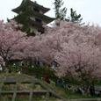 信州高遠城址の桜