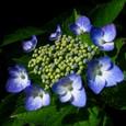 紫陽花(3)